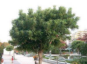 Daphniphyllum - Daphniphyllum teijsmannii