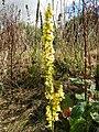Dark Mullein (Verbascum nigrum) (8128337487).jpg