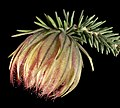Darwinia neildiana - Flickr - Kevin Thiele.jpg