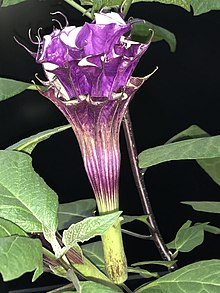 Datura metel 'Fastuosa' triple flower.jpg