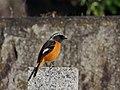 Daurian Redstart Male ジョウビタキ (242467851).jpeg