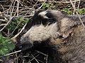 Dead badger, Sandy, Bedfordshire (8528475449).jpg