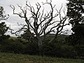Dead tree near path to Clappers Lane - geograph.org.uk - 1525009.jpg