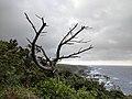 Dead tree on a cliff overlooking the shore on Yakushima.jpg