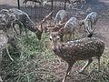 Deer eating grass.jpg