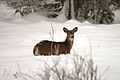 Deer in deep snow (9403835094).jpg