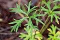 Delphinium scopulorum - Flickr - aspidoscelis (2).jpg