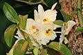 Dendrobium Happy Girl Emiko 0zz.jpg