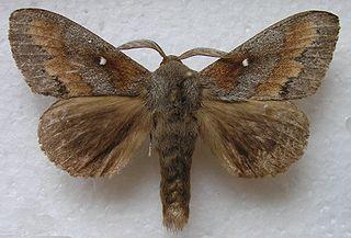 <i>Dendrolimus</i> Genus of moths