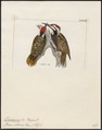 Dendropicus schoënsis - 1820-1860 - Print - Iconographia Zoologica - Special Collections University of Amsterdam - UBA01 IZ18700209.tif