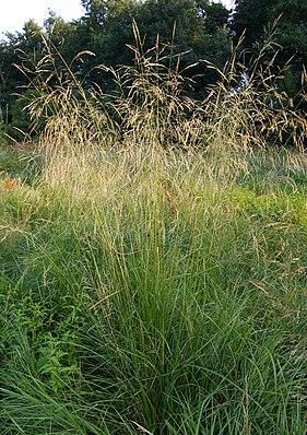 Rasen-Schmiele (Deschampsia cespitosa)