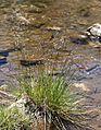 Deschampsia cespitosa Tufted-hair grass waters-edge.jpg
