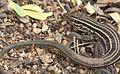 Desert Grassland Whiptail Lizard (7959635438).jpg