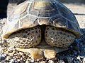 Desert Tortoise - panoramio.jpg