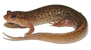 <i>Desmognathus fuscus</i> species of amphibian