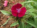 Dianthus barbatus sweet purple.jpg