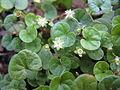 Dichondra repens flower1 (8427835587).jpg