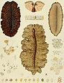 Die polycladen (seeplanarien) des golfes von Neapel und der angrenzenden meeres-abschnitte (1884) (20941559265).jpg