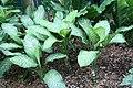 Dieffenbachia maculata Rudolph Roehrs 5zz.jpg
