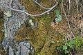 Diplophyllum taxifolium (b, 141237-472401) 4518.JPG