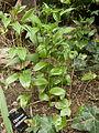 Disporum viridescens plant.jpg