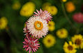 Djurgården Flowers (17082938165).jpg