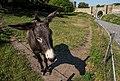 Donkey (Equus africanus asinus) at Devín Castle (Bratislava, Slovakia) julesvernex2.jpg