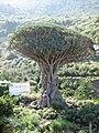 Drachenbaum Teneriffa, Icod de los Vinos.jpg