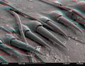 Dragonfly larva skin SEM stereo 500x c.png