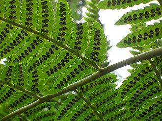 Dryopteris - D. goldieana, Goldie's fern