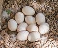 Duck eggs.jpg