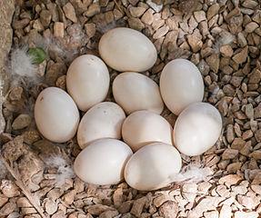 Kačacie vajíčka