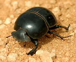 Dung Beetle South Africa