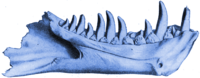 Dynamosaurus Type Specimen Highlighted in Blue.png