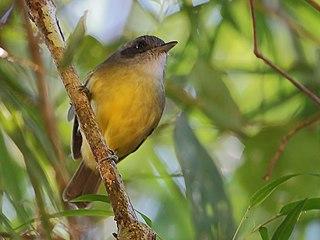 Plain antvireo species of bird