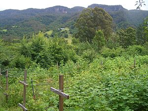 WWOOF - A WWOOF participant farm in Australia. The raspberry bushes pictured require regular weeding.