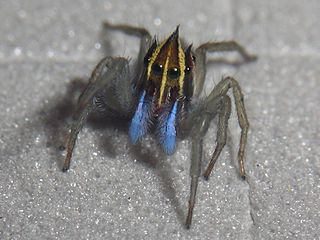 <i>Ilargus</i> genus of the spider family Salticidae