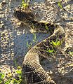 Eastern Diamondback Rattlesnake (Crotalus adamanteus) at Smyrna Dunes Park - Flickr - Andrea Westmoreland.jpg