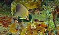 Eastern Triangular Butterflyfish (Chaetodon baronessa) (8476591119).jpg