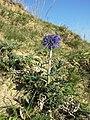 Echinops ritro (subsp. ruthenicus) sl33.jpg