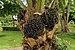 Elaeis guineensis oil palm fruit Portoviejo Ecuador.jpg