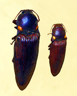 Pyrophorus punctatissimus - Pyrophorus punctatissimus from Paraguay. Mounted specimen