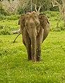Elephant (47896852).jpeg