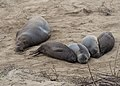 Elephant seals at Ano Nuevo (91617).jpg