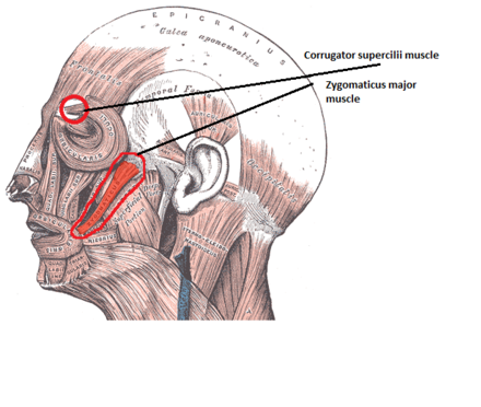 The corrugator supercilii muscle and zygomaticus major muscle are the 2 main muscles used for measuring the electrical activity, in facial electromyography