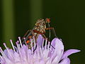 Empis sp. (Diptera) with parasitic mites (11053256505).jpg