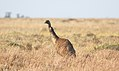 Emu (Dromaius novaehollandiae) (30914689440).jpg