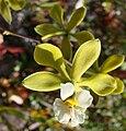 Encyclia alboxanthina - Flickr 003.jpg