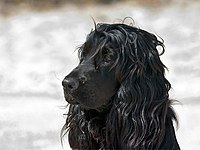 English Cocker Spaniel 2.jpg