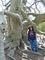 English Weeping Beech at Captain Bangs Hallet House - Yarmouth, MA - April 2012.jpg